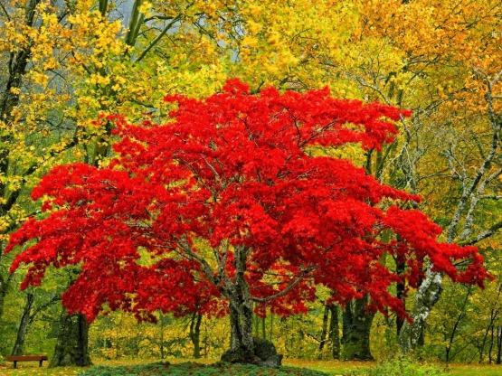 colores arbol de hoja caduca en otoño 30