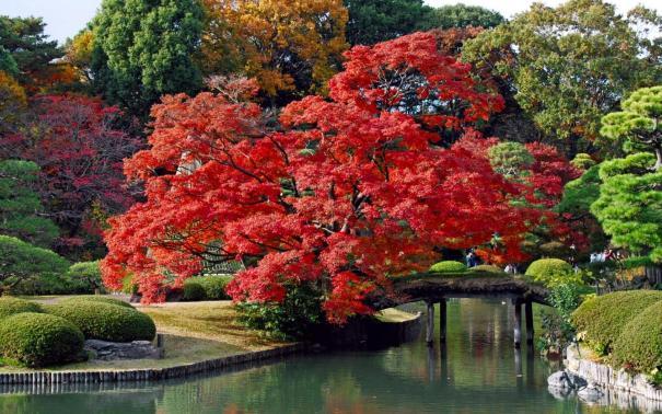 jardin-oriental-con-un-arbol-de-hojas-rojas_2180
